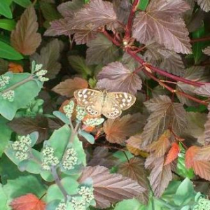 Speckled Wood butterly?