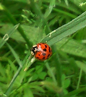 Another harlequin ladybird?