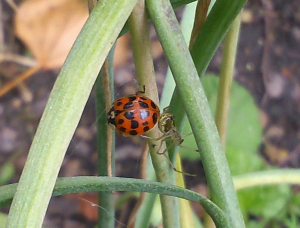 Harlequin ladybird? caught in web with spider