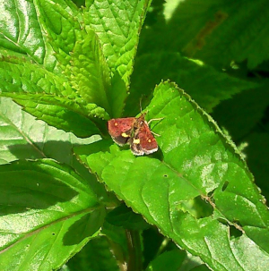Is this another pyrausta moth?