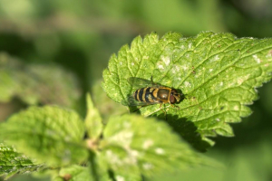 hoverfly-011