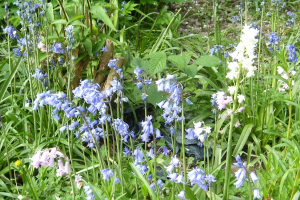 Bluebells - blue, pink and white