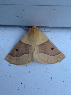 Scalloped Oak?