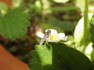 Black and White Hoverfly?
