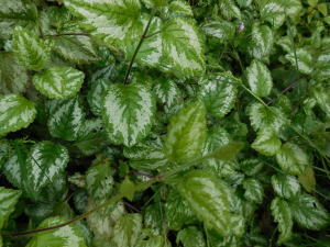 variagated low growing foliage
