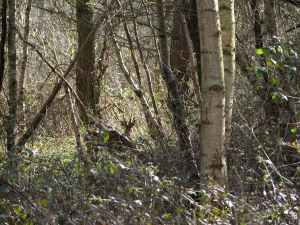 Roe Deer at Sheets Heath