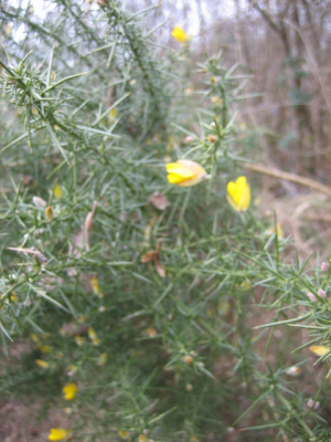 Common gorse at Sheets Heath