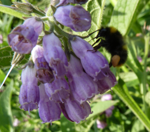 Bombus Pratorum 2 on Comfrey