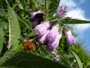 Common Carder Bee on Comfrey