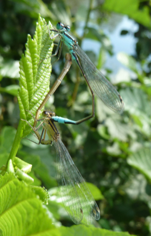Damselfly pair