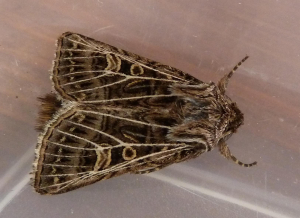 Noctuid Moth - Feathered Gothic?