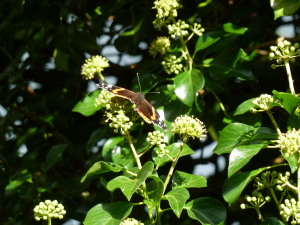Ivy...with Red Admiral