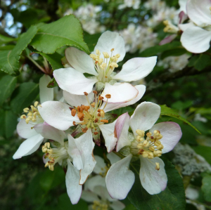 Wild Crab Apple