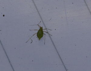 Greenfly