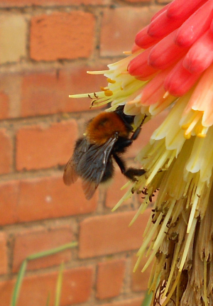 Bee on red hot poker
