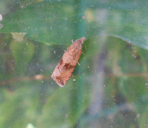 Moth in greenhouse