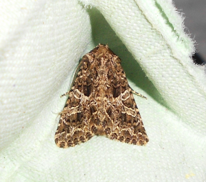 First Moth from my Moth Trap!