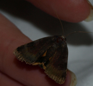 Some kind of Yellow Underwing?