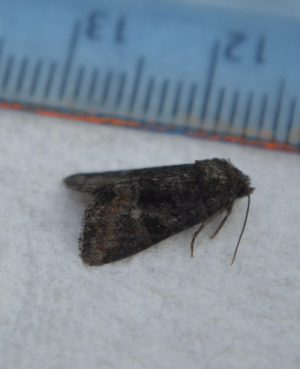 Small Noctuid