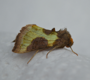 Cryptic Burnished Brass?