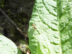 Small black fly (4)