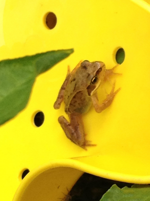 Common frog- had to share