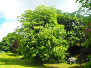Horse Chestnut Tree in blossom
