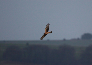 Hen  Harriers on the gallops