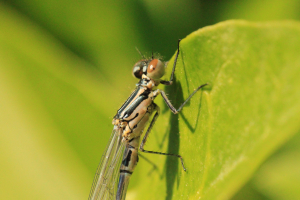 Azure Damselfly (Immature male)