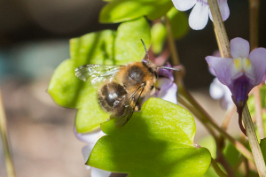 Anthophora plumipes?