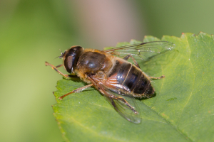 Large dark hoverfly