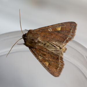 Brown moth with yellow spot