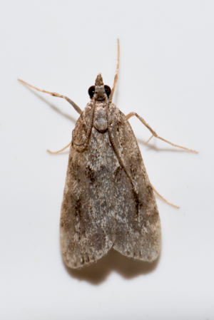 Small grey moth