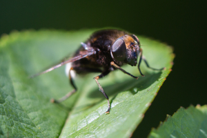 Black furry hoverfly