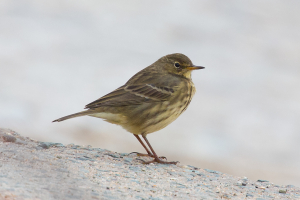 Meadow or rock pipit?