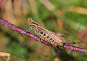 Common field grasshoppers?