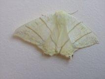 White moth identification