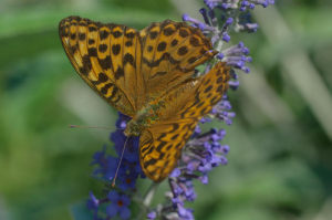 silver-washed fritillary on buddleja