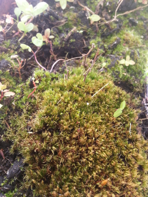 unknown moss