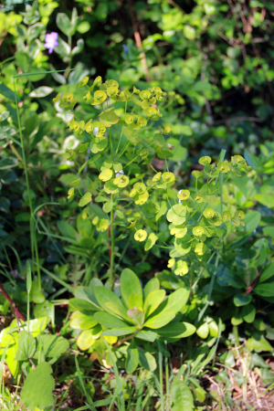 Which spurge?