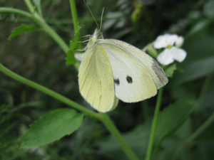 Small white butterfly?
