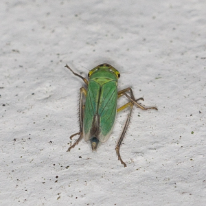 Large leafhopper?