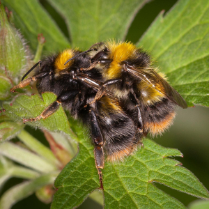 Early bumblebees