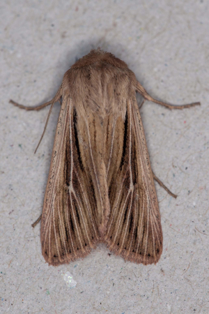Shoulder-striped wainscot