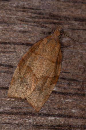 Barred fruit-tree tortrix