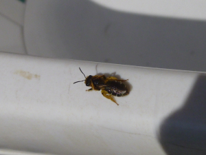 Hairy Footed Flower Bee?