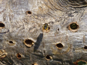 Leaf Cutter Bee building nest.