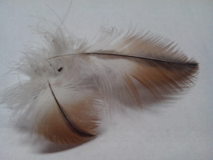 Red kite feathers?
