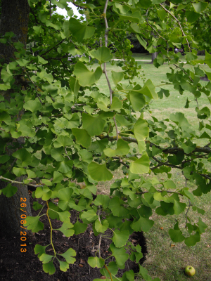 Another Ginkgo