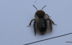 Mining bee - early June